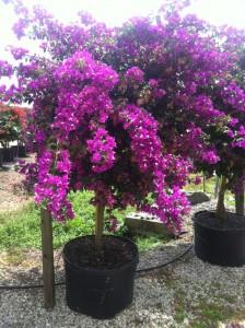 Bouganvilla Palm Beach Purple