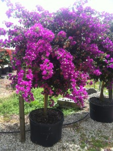 Bouganvilla Palm Beach Purple